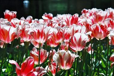 Тюльпан Sorbet смотреть