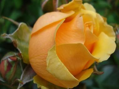 Роза Amber Queen  в киеве