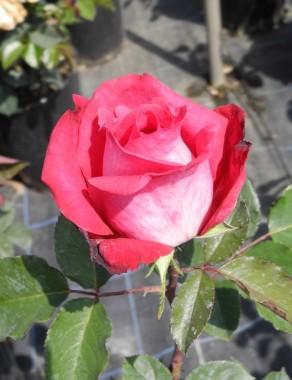 Роза Acapella  почтой