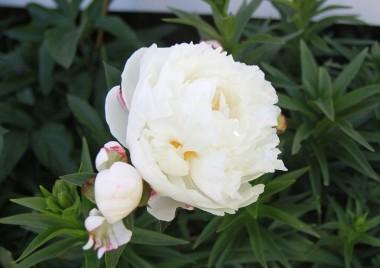 Пион Gardenia почтой