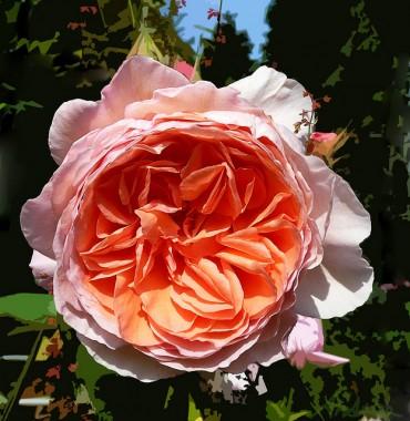 Роза William Morris купить онлайн