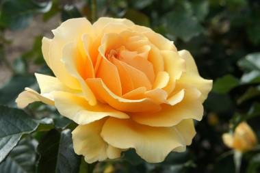 Роза Amber Queen  смотреть