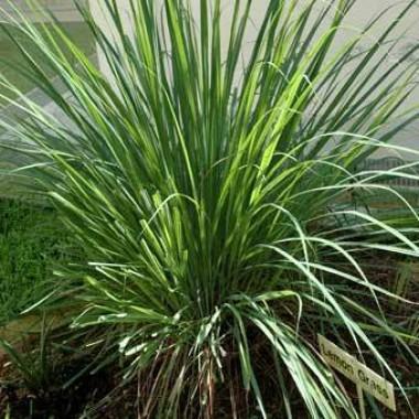 Лимонная трава (цимбопогон) фото