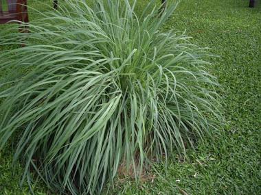 Лимонная трава (цимбопогон) описание