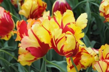Тюльпан Texas Flame описание
