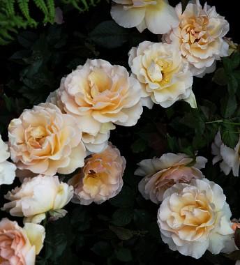Роза Susan Daniel почтой
