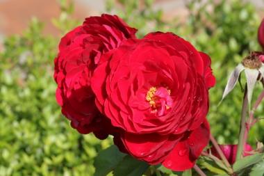 Роза Look Good...Feel Better фото цена
