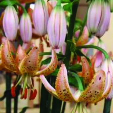 Мартагон лилии купить