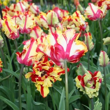 Тюльпан Texas Flame фото цена