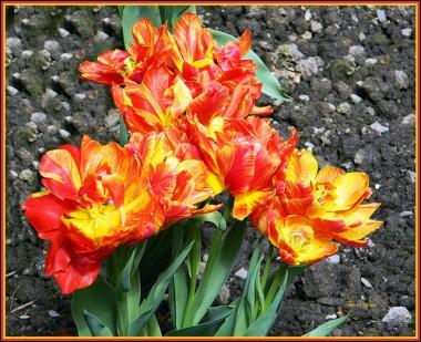 Тюльпан Monte Flame  купить онлайн