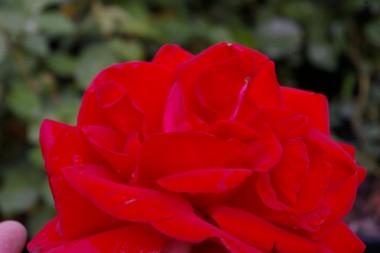 Роза плетистая Mushimara фото