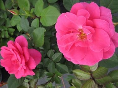 Роза Lea Renaissance почтой