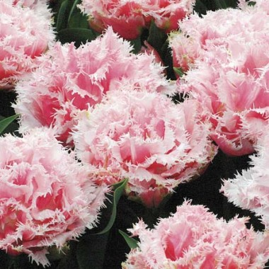 Тюльпан Queensland  почтой