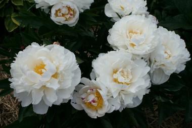 Пион Gardenia описание