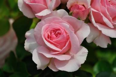 Роза Mariatheresia почтой