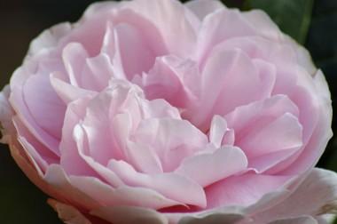 Роза Natascha Richardson  почтой