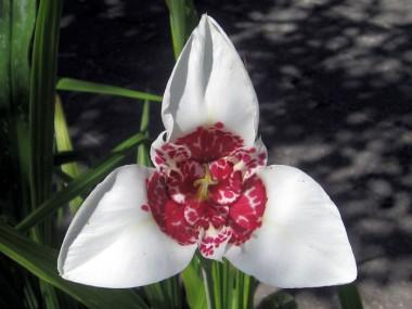 Тигридия Alba Grandiflora фото цена