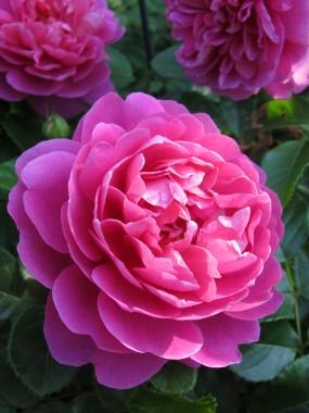 Роза Princess Anne фото