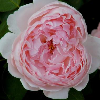 Роза St. Swithun почтой
