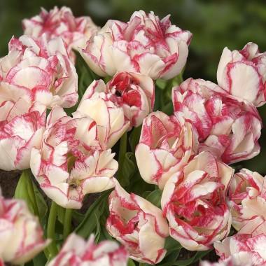 Тюльпан Belicia  почтой