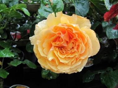 Роза Amber Queen  интернет-магазин