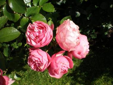 Роза Leonardo da Vinci купить онлайн