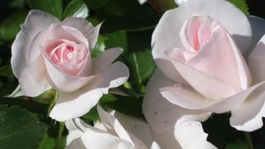 Роза Aspirin Rose почтой