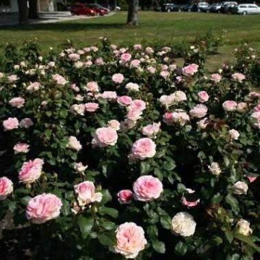 Роза Souvenir de Baden-Baden смотреть