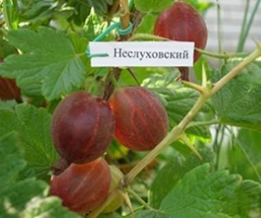 Крыжовник Неслуховский описание