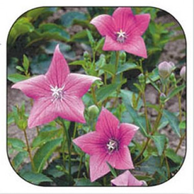 Платикодон Гаваи розовый фото