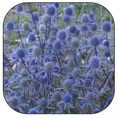 Синеголовник (сухоцвет) фото цена