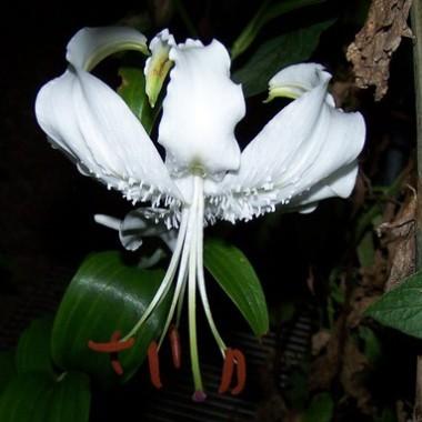 Ориентальные лилии