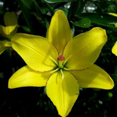 Лилия Yellow Cocotte купить онлайн