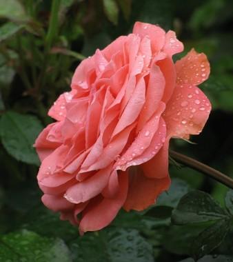 Роза Schackenborg  фото