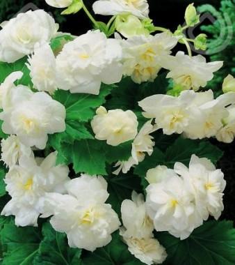 Бегония Multiflora Maxima белая в киеве