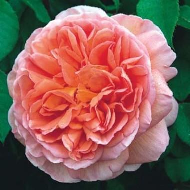 Роза Abraham Derby описание