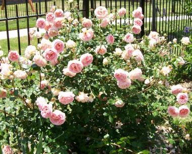 Роза Abraham Derby смотреть