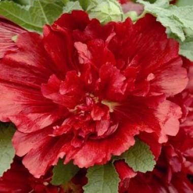 Штокроза Crimson фото