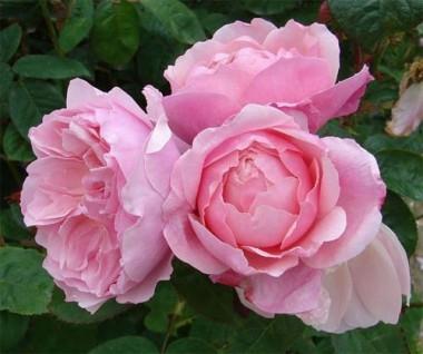Роза The Alnwick почтой