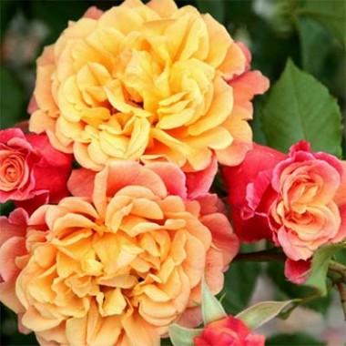 Роза Aloha почтой