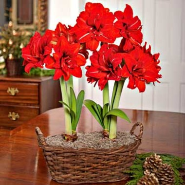 Амариллис Red Peacock фото