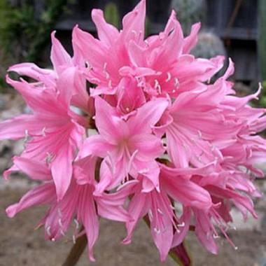 Амариллис Belladonna почтой