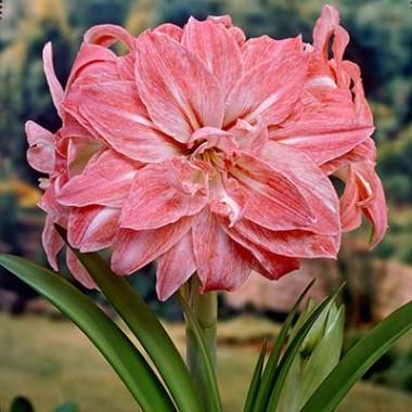 Амариллис Lady Jane фото