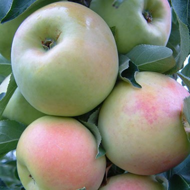 Яблоня колоновидная Эдем фото