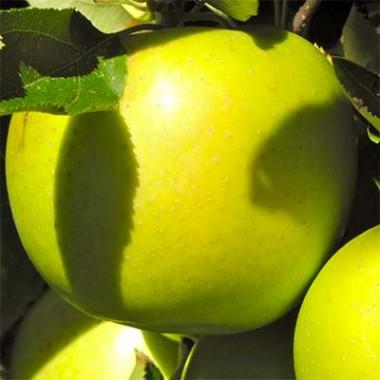 Яблоня Мутсу в киеве