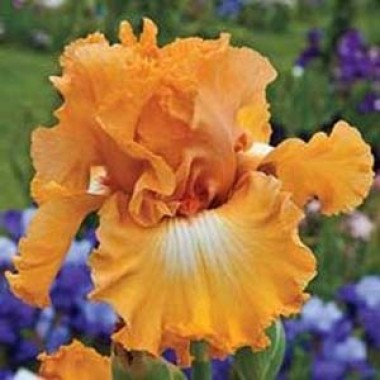 Ирис Apricot Silk фото цена