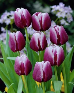 Тюльпан Arabian Mystery смотреть