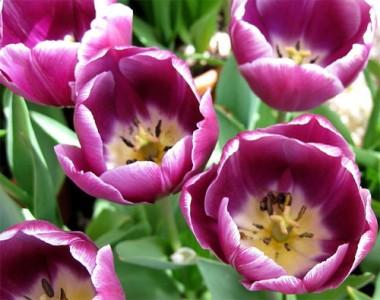 Тюльпан Arabian Mystery фото