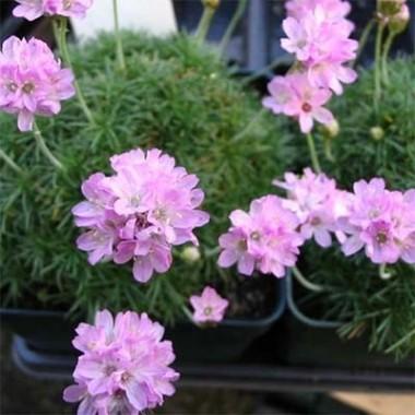 Армерия Juniperifolia купить онлайн