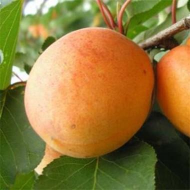 Абрикос Полесский Урожайный купить онлайн